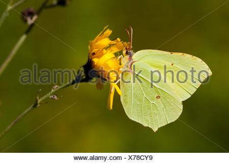 Brimstone (Gonepteryx rhamni), chupar néctar en Baviera, Alemania, compuesto