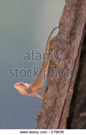 Sangre común Sucker, árbol indio lagarto, Lagarto de jardín (Calotes versicolor), retroiluminadas en un registro, Tailandia, Khao Lak NP Foto de stock