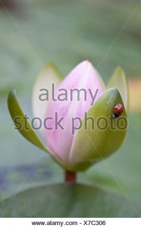 Lirio de agua, Nymphaea cultivar, Rosa.