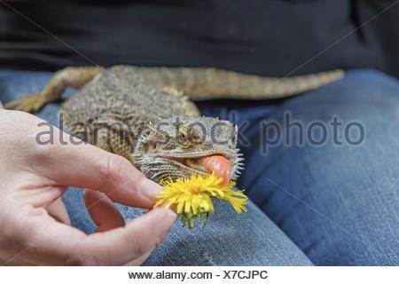 Agama con una lengüeta que sobresale es comer jaramago
