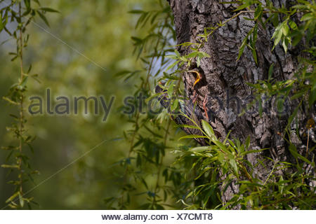 Estrella en su nido alimentando joven