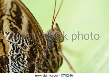 Bosque de mariposa búho (Caligo eurilochus gigante), macro shot