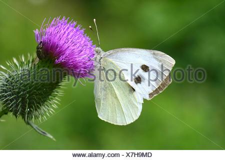 (Pieris rapae blanco grande), chupando el néctar de la floración (Cardo Cirsium sp.).