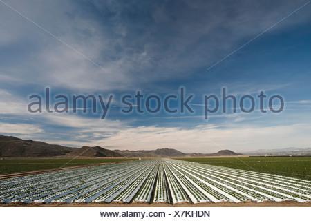 Hileras de cultivos bajo plástico Foto de stock