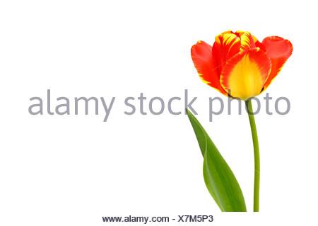 Tulipán (Tulipa), rojo, amarillo