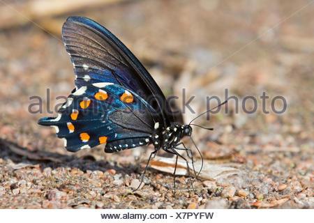 Spicebush especie (Papilio Troilo), macho, sentados en el suelo, USA, Arizona Foto de stock