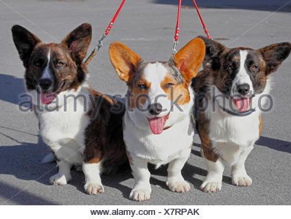 Welsh Corgi Pembroke (Canis lupus familiaris) f., tres juntos liberan Welsh Corgi Pembrokes, Alemania