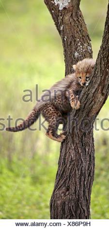 Guepardo (Acinonyx jubatus), cub sobre un árbol, África Foto de stock