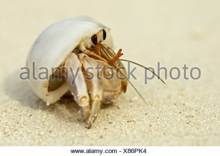 Cangrejo ermitaño en un shell, Maldivas