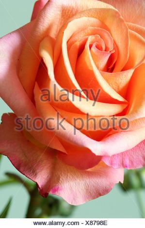 Close-up de un rosa
