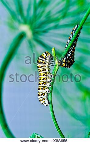 Este Especie Papilio polyxenes (larva), quinto estadio, alimentación