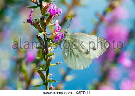 (Pieris rapae blanco grande), chupando el néctar de una flor. Alemania