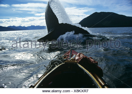 Ballena Jorobada lobtailing, Estrecho de Chatham, sureste de Alaska