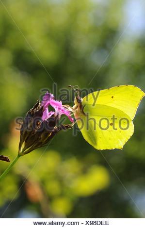 Brimstone (Gonepteryx rhamni), chupando el néctar de la cartuja rosa, Alemania, Baviera