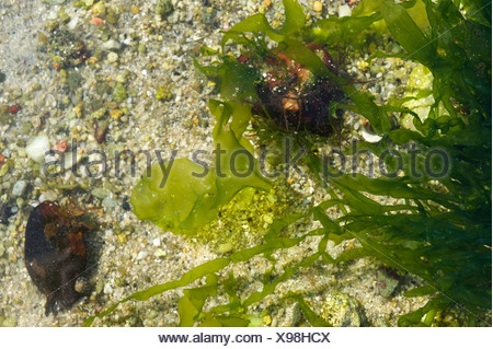 La lechuga de mar (Ulva lactuca)
