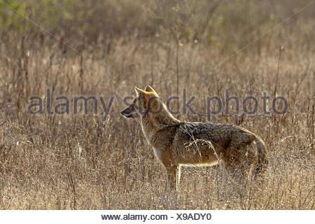 El Chacal dorado (Canis aureus), hembra en una pradera seca, India, Ranthambhore