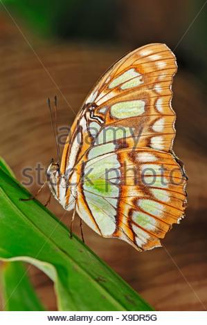 Malaquita Siproeta stelenes (mariposas), nativa de América del Sur, en cautividad, Países Bajos, Europa