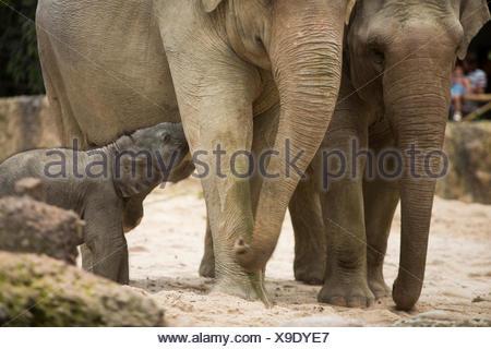 Los animales, los elefantes, los jóvenes, el elefante, el Zoológico de Zurich, animales, el cantón de Zurich, zoológico, Suiza, Europa,