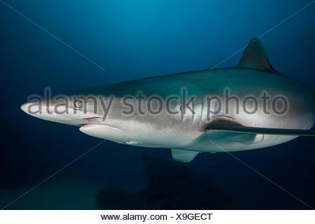 Hembra tiburón sedoso con mordeduras, probablemente recibió durante el cortejo, isla Socorro, Revillagigedo, México