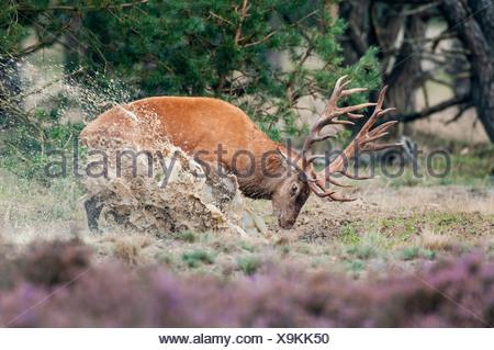 Red Deer, macho, Cervus elaphus