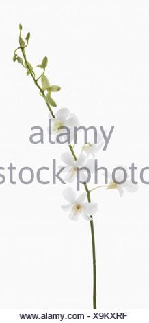 """Dendrobium """"vivir los sueños blancos"""", orquídeas, flores blancas y yemas de tallo único contra un fondo blanco."""