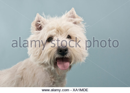 West Highland White Terrier, Westie, Retrato Foto de stock