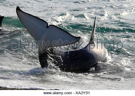 Orca, gran, grampus orca (Orcinus orca), tratando de llegar a aguas más profundas , Argentina, Patagonia, Valdes