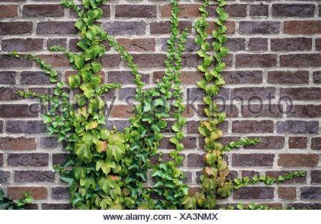 La hiedra común (Hedera helix) y japonés (Hiedra Parthenocissus tricuspidata) creciendo en un muro de ladrillo Foto de stock