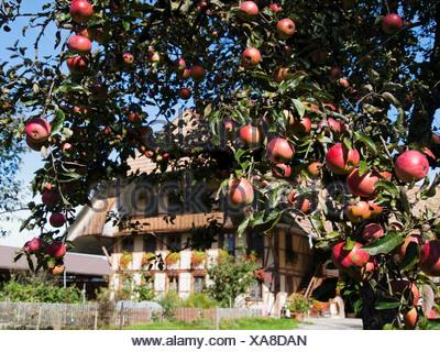 Apple, Apple tree, granja, árbol, cortijo, Emmental, cantón de Berna, Berna, frutas, huerto, Rüderswil, Suiza, Europa