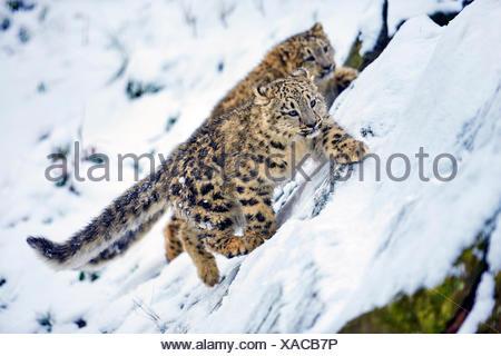 Snow Leopard (Panthera uncia Uncia uncia,), dos crías de animales en la nieve