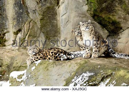 Snow Leopard (Panthera uncia), hembra con dos cachorros, cautiva, Suiza