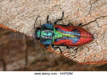 Joya escarabajo, madera-aburrido escarabajo (Anthaxia candens), en deadwood, Alemania