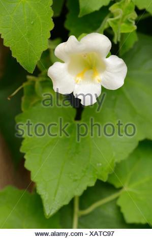 Sigilosa Gloxinia (Lophospermum erubescens), ramo de novia, flor, variedad autóctona de México