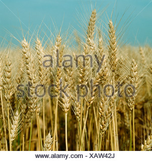 Cosecha de trigo barbado Triticum durum maduras oído contra un cielo de verano azul