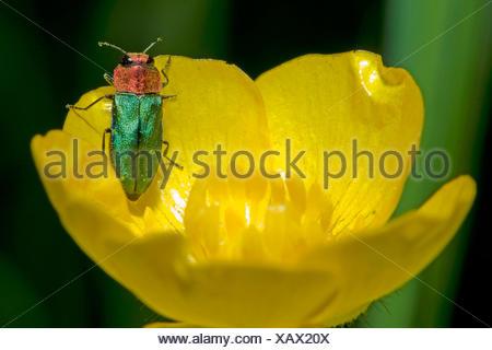Joya escarabajo, madera metálicos (escarabajo aburrido Anthaxia nitidula), sobre una flor, Alemania