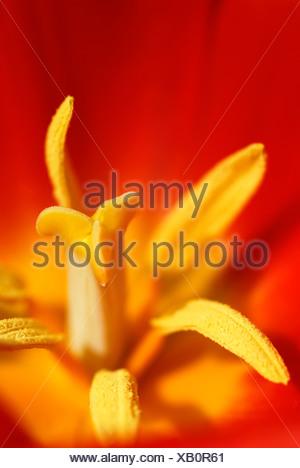 Escandinavia, Suecia, Gotemburgo, Vista de tulipán amarillo, close-up