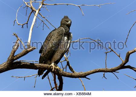 El águila marcial (Polemaetus bellicosus, Hieraaetus bellicosus), sentado en una rama, Kenya, Reserva Nacional de Samburu Foto de stock
