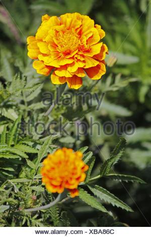 Marigold, Tagetes patula