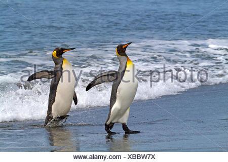 Pingüino Rey (Aptenodytes patagonicus), dos pingüinos rey va en tierra, la Antártida, Suedgeorgien, bahía de St.