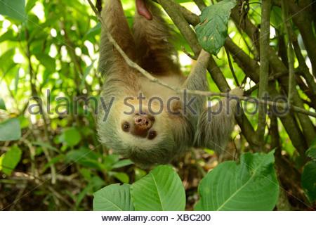 Dos de Hoffmann, pereza (Choloepus hoffmanni vetado), colgado boca abajo de un árbol, La Fortuna, Costa Rica, Centroamérica
