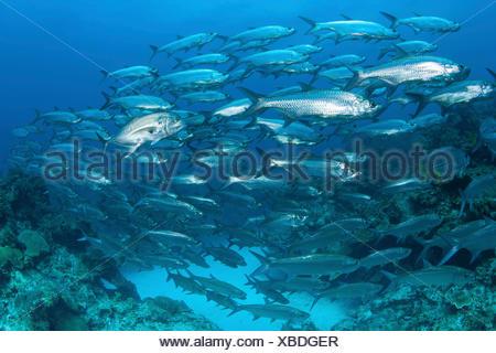 Gran Escuela de tarpon, Islas Caimán