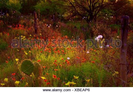 Flores silvestres y cactus en un prado en primavera, condado de Dimmit, Texas, EE.UU