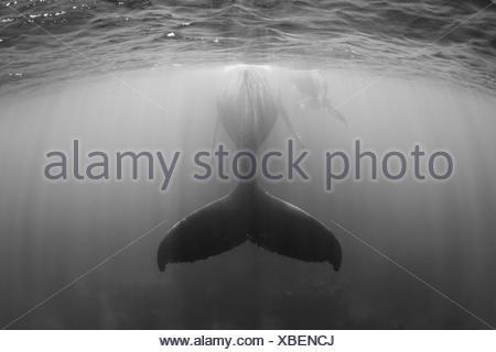 La ballena jorobada, la madre y el ternero, Megaptera novaeangliae, Banco de Plata, Océano Atlántico, República Dominicana