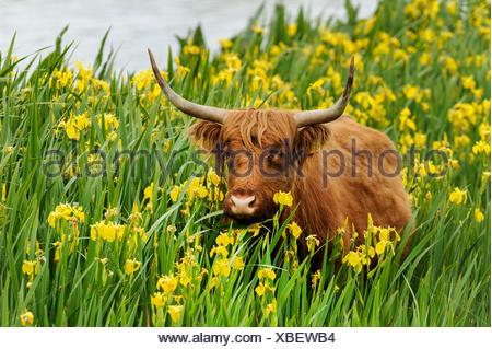 Scottish Highland ganado, Kyloe (Bos primigenius f. taurus), en una población de amarillo (Iris pseudacorus), Alemania
