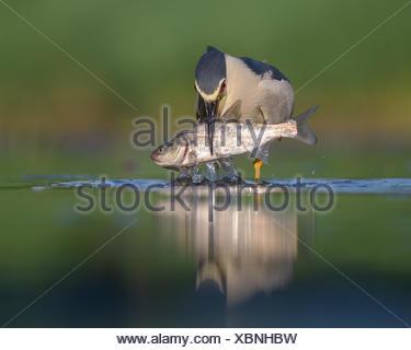 Negro-noche coronado heron (Nycticorax nycticorax), adulto heron con presas, grandes peces, Parque Nacional Kiskunság, Hungría