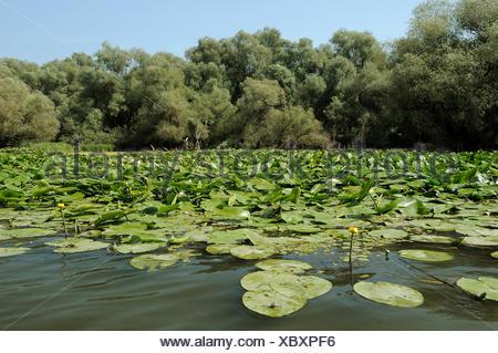 """Amarillo lirios de agua (Nuphar lutea, Nuphar luteum""""), el delta del Danubio, Rumania, Europa"""