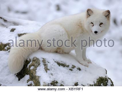 Zorro ártico (Vulpes lagopus) sentados en la nieve, cautiva, Baden-Wurtemberg, Alemania