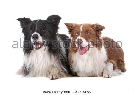 Dos border collie perros de pastor
