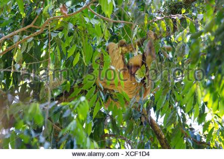 Linnaeus' dos dedos cada sloth (Choloepus didactylus), colgando en una rama de un árbol corona, Costa Rica