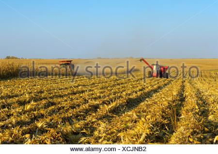 Una cosechadora cosecha una cosecha de grano de maíz en un gran campo de grano, con un carro de grano junto con cerca / Iowa, EE.UU.